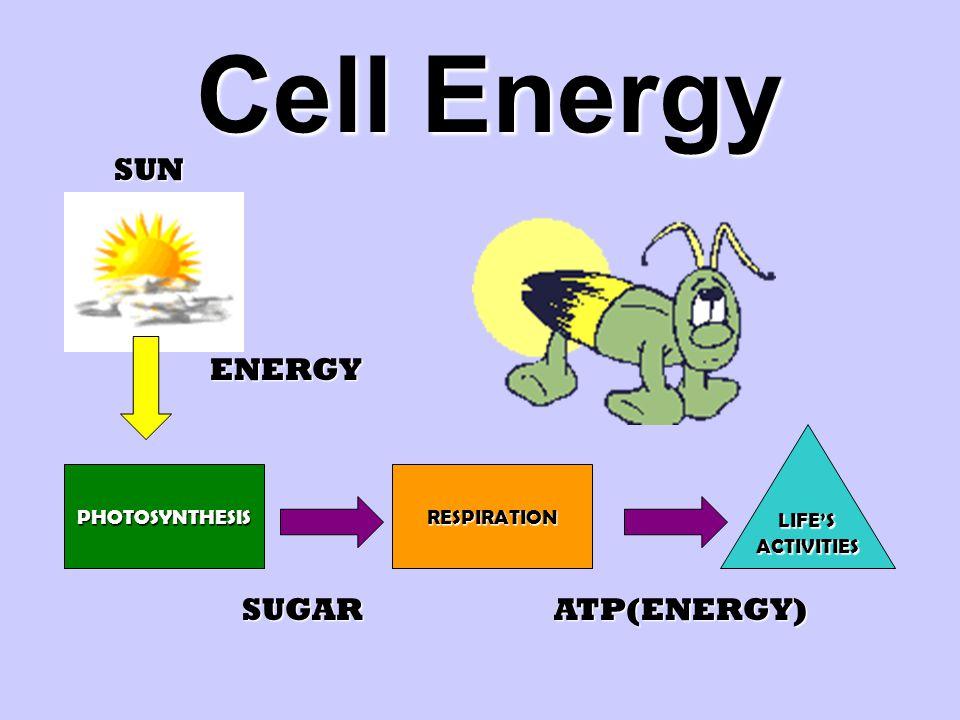 Cell Energy PHOTOSYNTHESIS LIFE'SACTIVITIES RESPIRATION SUN ENERGY SUGARATP(ENERGY)