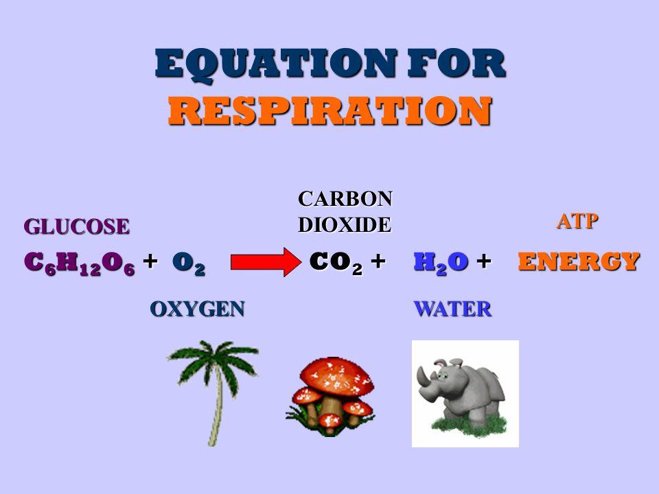 EQUATION FOR RESPIRATION C 6 H 12 O 6 + GLUCOSE O2O2O2O2 OXYGEN CO 2 + CARBON DIOXIDE H2O +H2O +H2O +H2O +ENERGY WATER ATP