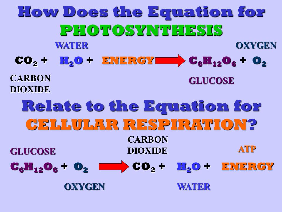 How Does the Equation for PHOTOSYNTHESIS CO 2 + H2O +H2O +H2O +H2O +ENERGY C 6 H 12 O 6 + O2O2O2O2 CARBON DIOXIDE WATERGLUCOSEOXYGEN Relate to the Equation for CELLULAR RESPIRATION.