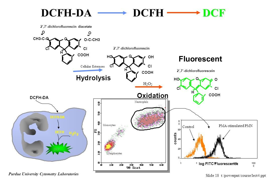 Slide 18 t:/powerpnt/course/lect4.ppt Purdue University Cytometry Laboratories DCF DCFH-DA DCFH DCF COOH H Cl O O-C-CH3 O CH3-C-O Cl O COOH H Cl OH HO Cl O COOH H Cl O HO Cl O Fluorescent Hydrolysis Oxidation 2',7'-dichlorofluorescin 2',7'-dichlorofluorescin diacetate 2',7'-dichlorofluorescein Cellular Esterases H2O2H2O2 DCFH-DADCFH-DA DCFH DCF H O 2 2 2 2 Lymphocytes Monocytes Neutrophils log FITC Fluorescence.1.1 100 0 100 10 1 0 20 40 60 counts PMA-stimulated PMN Control 8080