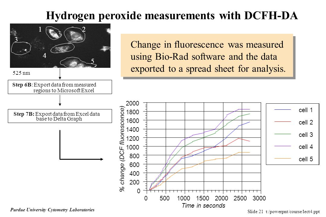 Slide 21 t:/powerpnt/course/lect4.ppt Purdue University Cytometry Laboratories Hydrogen peroxide measurements with DCFH-DA % change (DCF fluorescence) 525 nm 12 3 4 5 Step 6B: Export data from measured regions to Microsoft Excel Step 7B: Export data from Excel data base to Delta Graph Change in fluorescence was measured using Bio-Rad software and the data exported to a spread sheet for analysis.