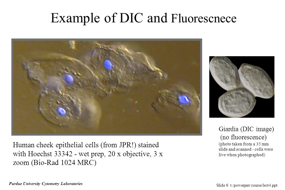 Slide 6 t:/powerpnt/course/lect4.ppt Purdue University Cytometry Laboratories Example of DIC and Fluorescnece Human cheek epithelial cells (from JPR!) stained with Hoechst 33342 - wet prep, 20 x objective, 3 x zoom (Bio-Rad 1024 MRC) Giardia (DIC image) (no fluorescence) (photo taken from a 35 mm slide and scanned - cells were live when photographed)