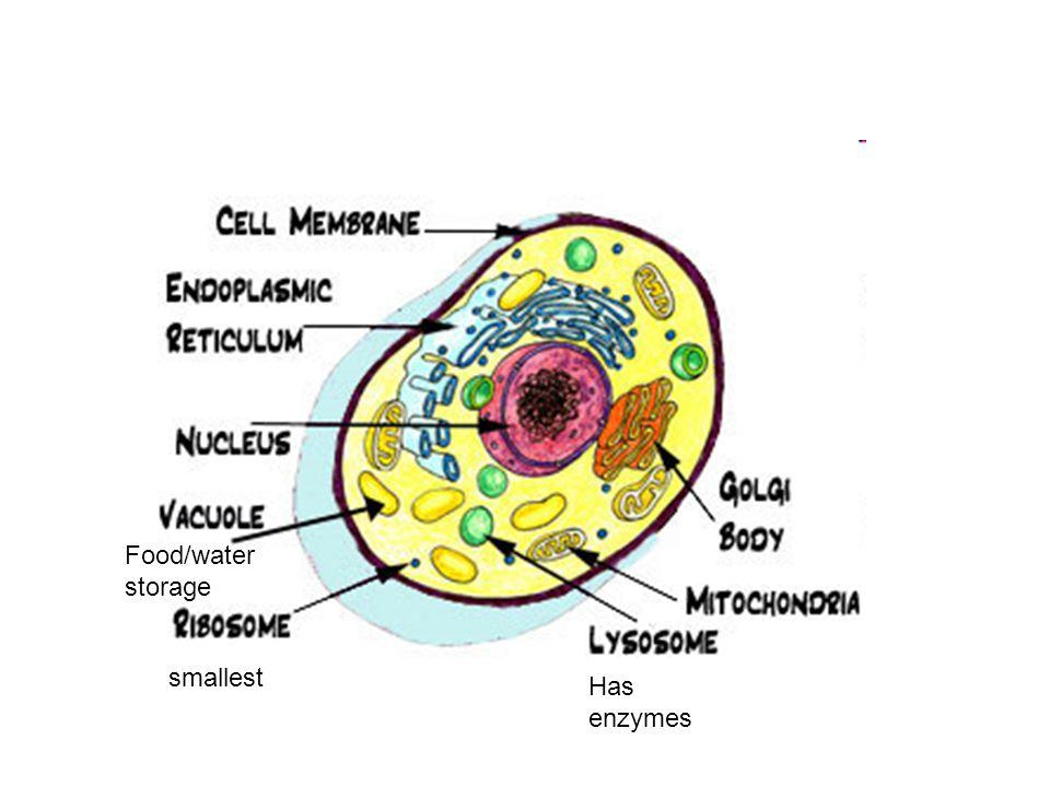 Has enzymes smallest Food/water storage
