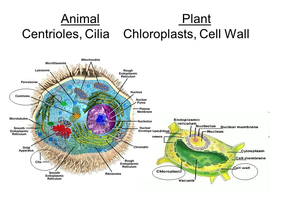 Animal Plant Centrioles, Cilia Chloroplasts, Cell Wall