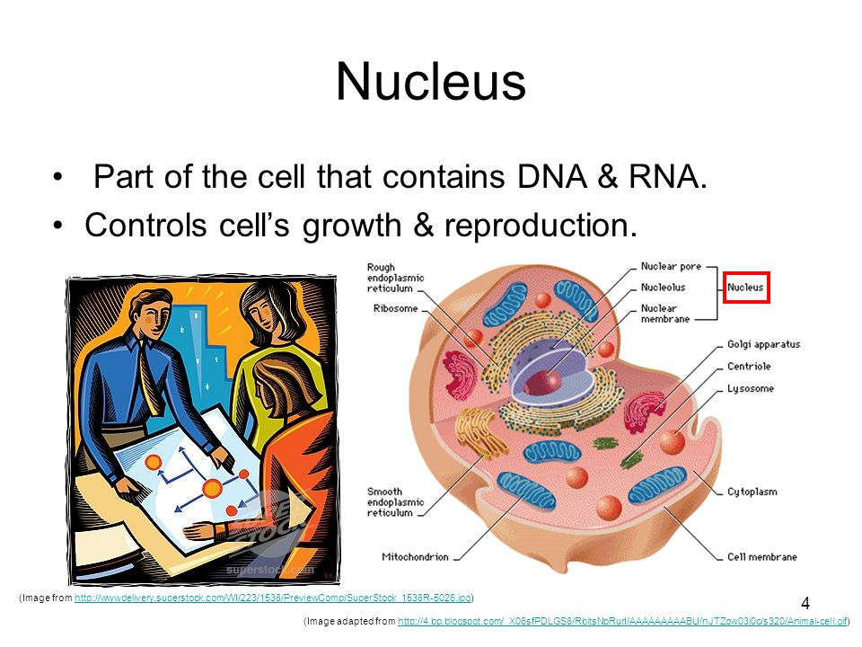 4 Nucleus Part of the cell that contains DNA & RNA.