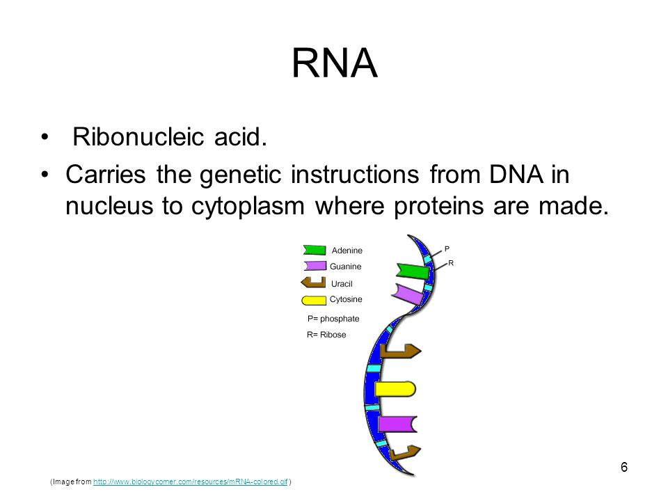 6 RNA Ribonucleic acid. Carries the genetic instructions from DNA in nucleus to cytoplasm where proteins are made. (Image from http://www.biologycorne