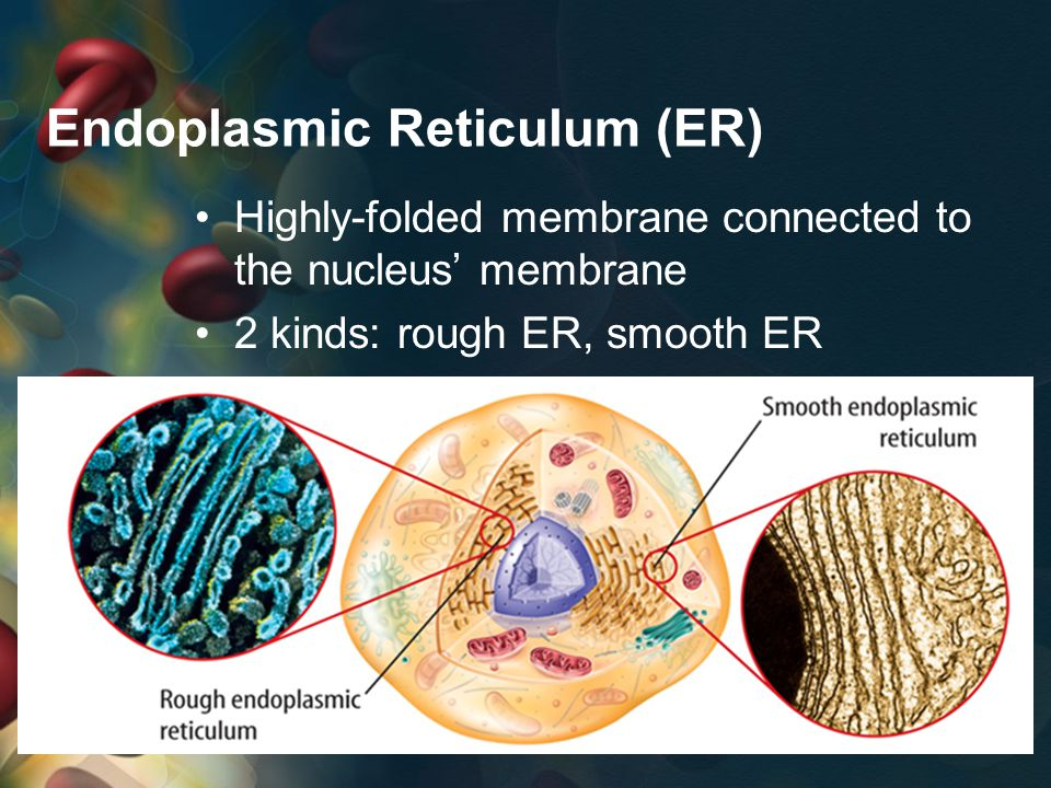 Endoplasmic Reticulum (ER) Highly-folded membrane connected to the nucleus' membrane 2 kinds: rough ER, smooth ER