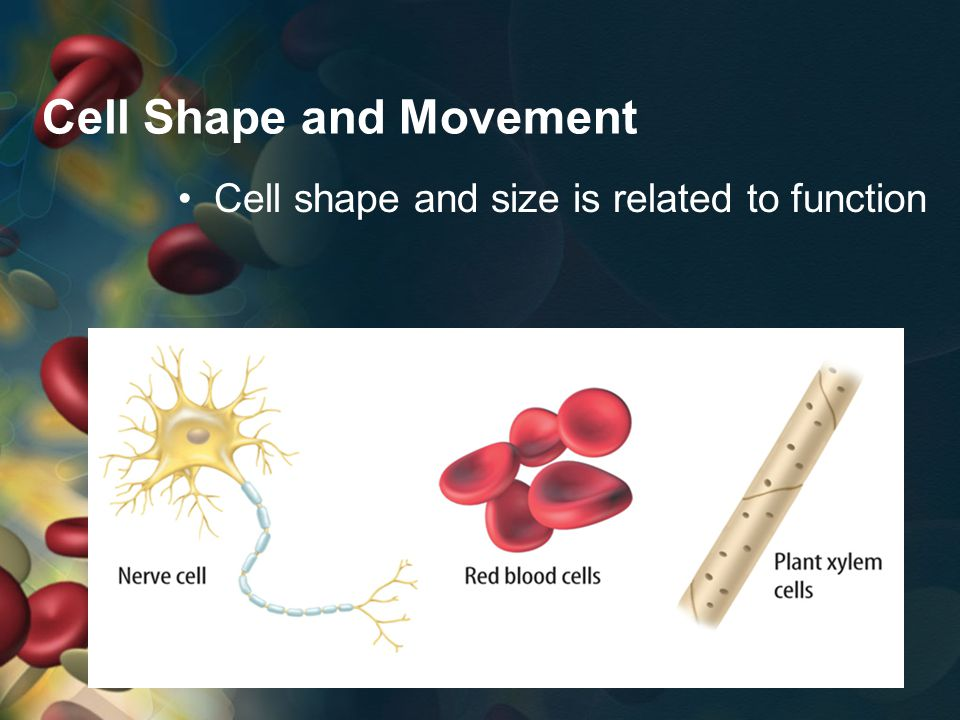 Cell Shape and Movement Cell shape and size is related to function