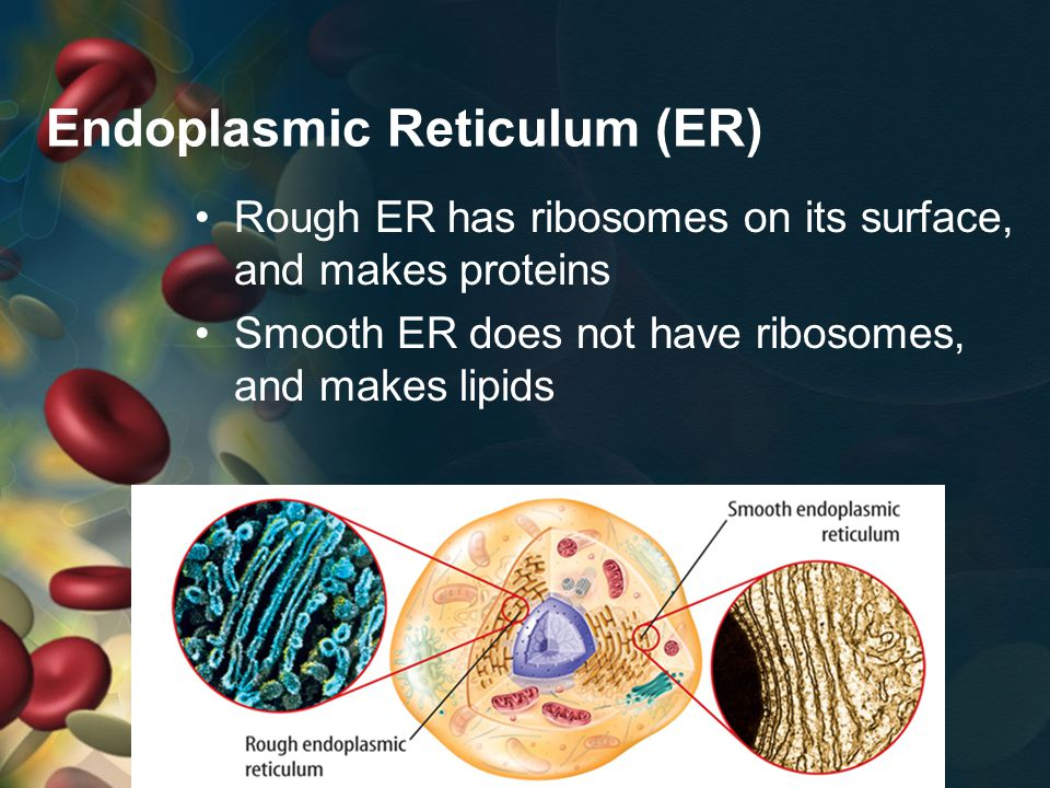 Endoplasmic Reticulum (ER) Rough ER has ribosomes on its surface, and makes proteins Smooth ER does not have ribosomes, and makes lipids