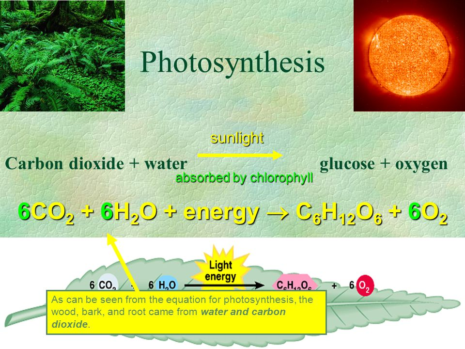 Photosynthesis Carbon dioxide + water glucose + oxygen sunlight absorbed by chlorophyll 6CO 2 + 6H 2 O + energy  C 6 H 12 O 6 + 6O 2 As can be seen from the equation for photosynthesis, the wood, bark, and root came from water and carbon dioxide.