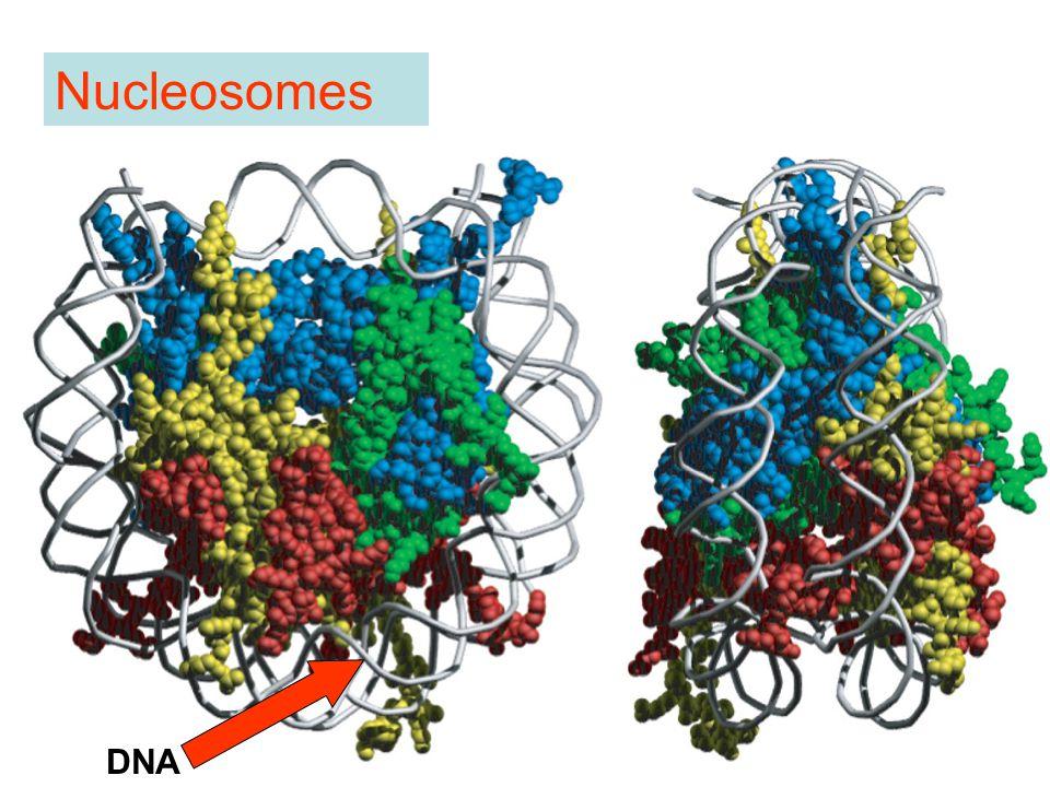 Nucleosomes DNA