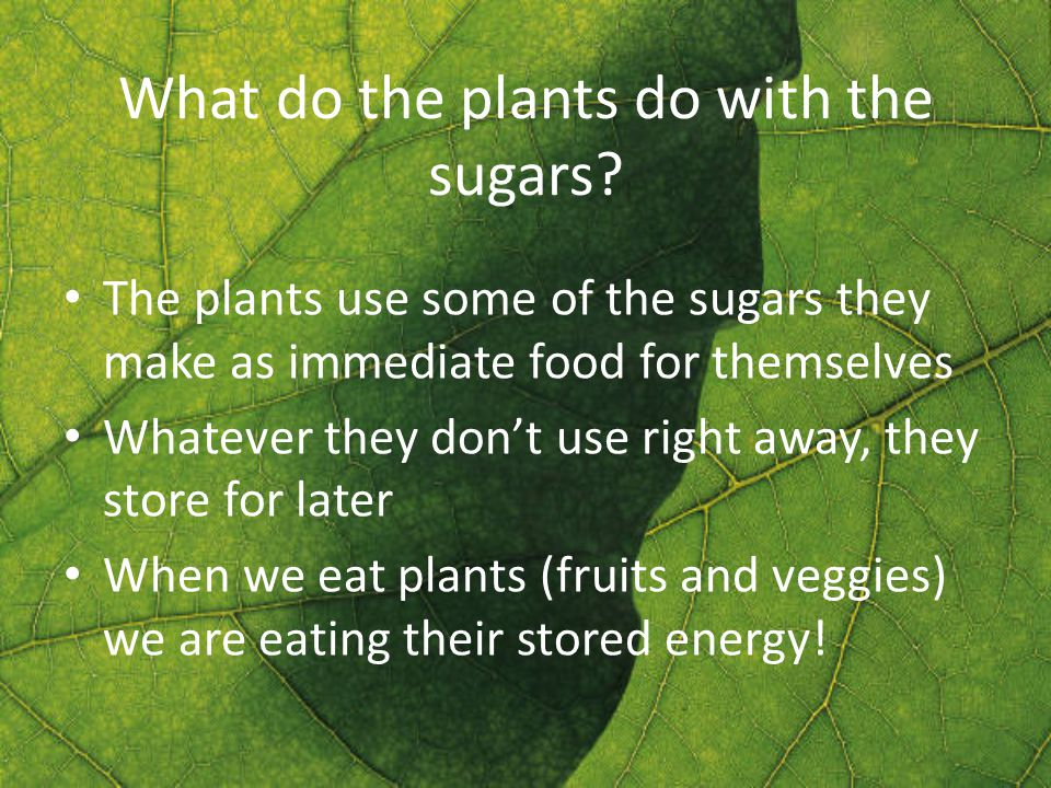 What do the plants do with the sugars.