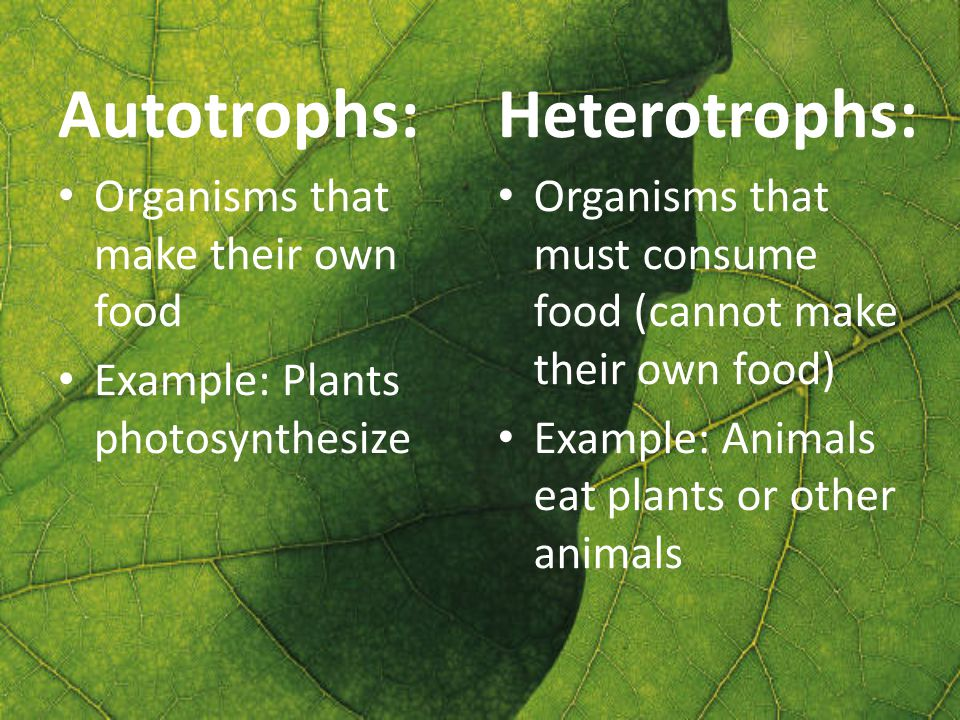 Autotrophs: Organisms that make their own food Example: Plants photosynthesize Heterotrophs: Organisms that must consume food (cannot make their own food) Example: Animals eat plants or other animals