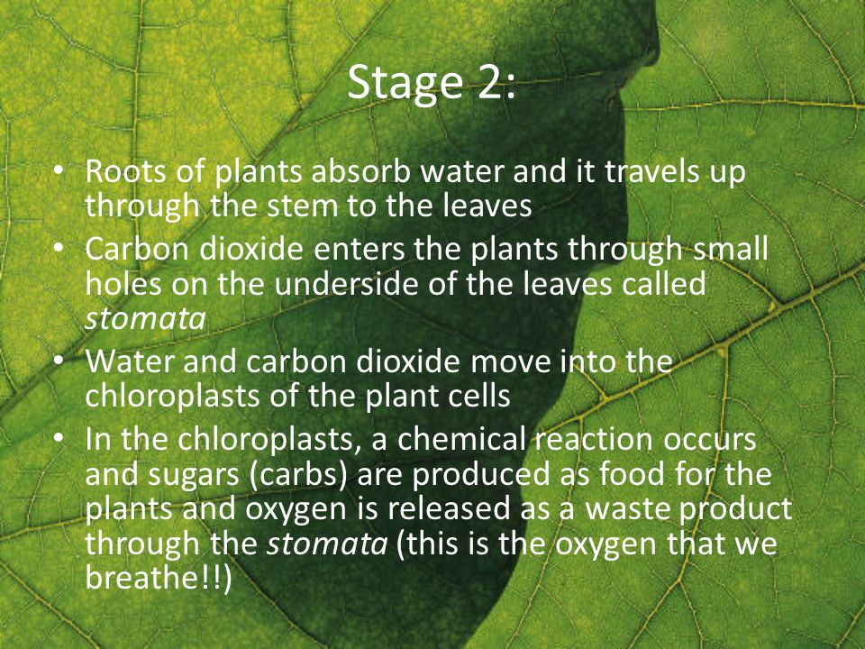 Stage 2: Roots of plants absorb water and it travels up through the stem to the leaves Carbon dioxide enters the plants through small holes on the underside of the leaves called stomata Water and carbon dioxide move into the chloroplasts of the plant cells In the chloroplasts, a chemical reaction occurs and sugars (carbs) are produced as food for the plants and oxygen is released as a waste product through the stomata (this is the oxygen that we breathe!!)