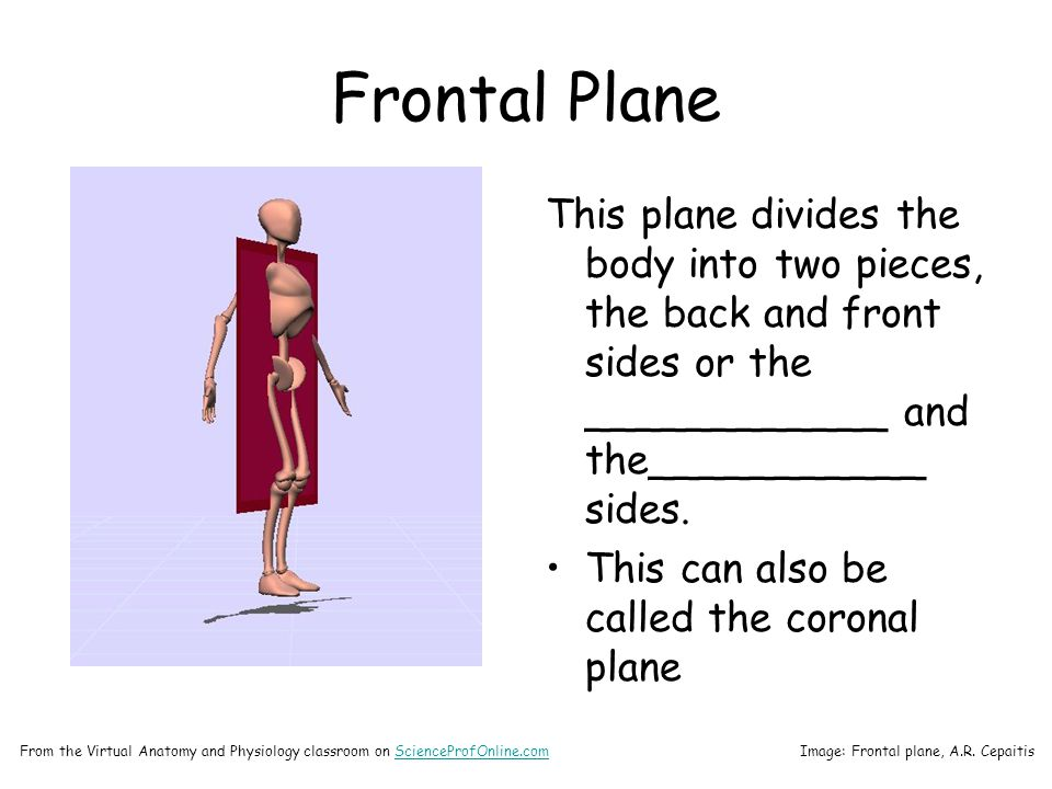 Frontal Plane This plane divides the body into two pieces, the back and front sides or the ____________ and the___________ sides.