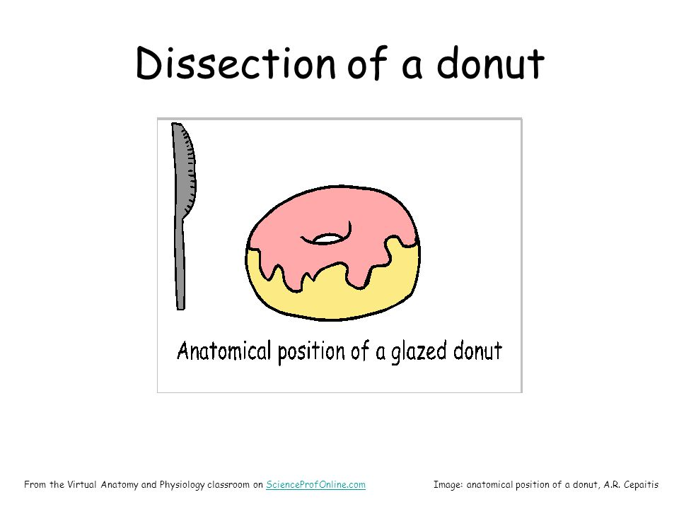 Dissection of a donut From the Virtual Anatomy and Physiology classroom on ScienceProfOnline.comScienceProfOnline.comImage: anatomical position of a donut, A.R.