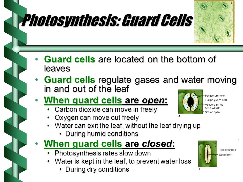 Photosynthesis: The Reaction What reactants are needed for photosynthesis to occur?What reactants are needed for photosynthesis to occur.