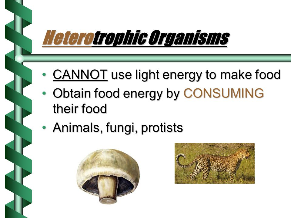 Autotrophic Organisms Use light energy to make their own foodUse light energy to make their own food Provide ULTIMATE SOURCE OF ENERGY for all living thingsProvide ULTIMATE SOURCE OF ENERGY for all living things All plants, some Protists, some bacteriaAll plants, some Protists, some bacteria