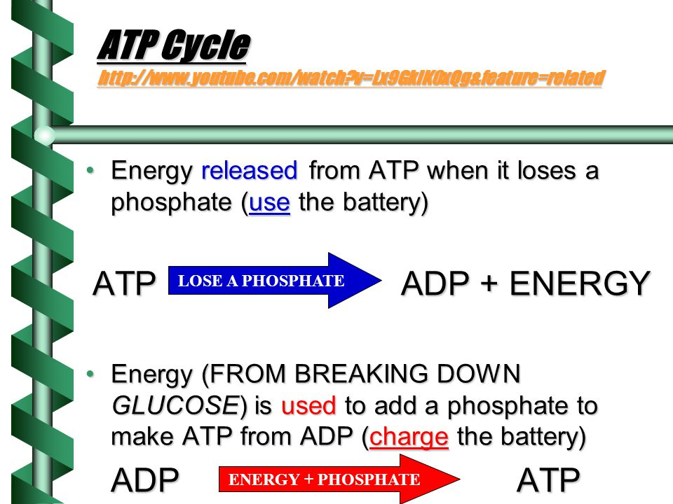 ATP and ADP: Chemical energy for cells ADP:ADP: Adenosine DiPhosphateAdenosine DiPhosphate How many phosphates in ADP?How many phosphates in ADP.