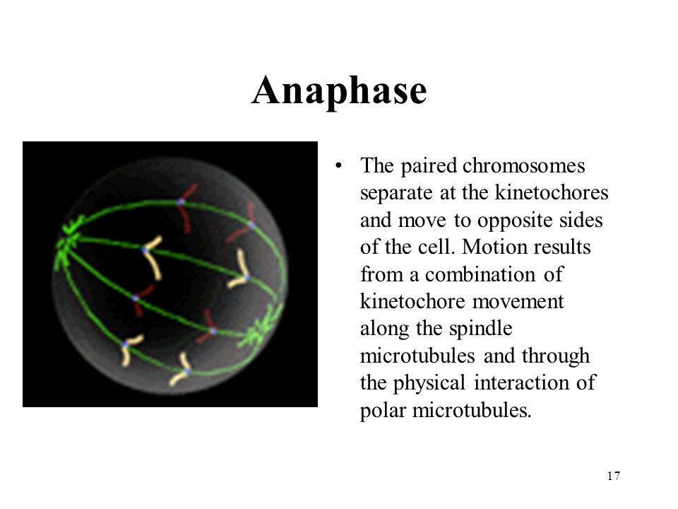 Anaphase The paired chromosomes separate at the kinetochores and move to opposite sides of the cell.
