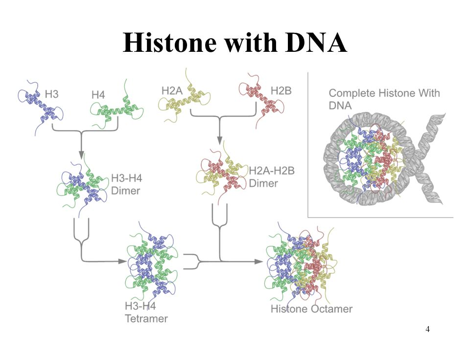 Histone with DNA 4