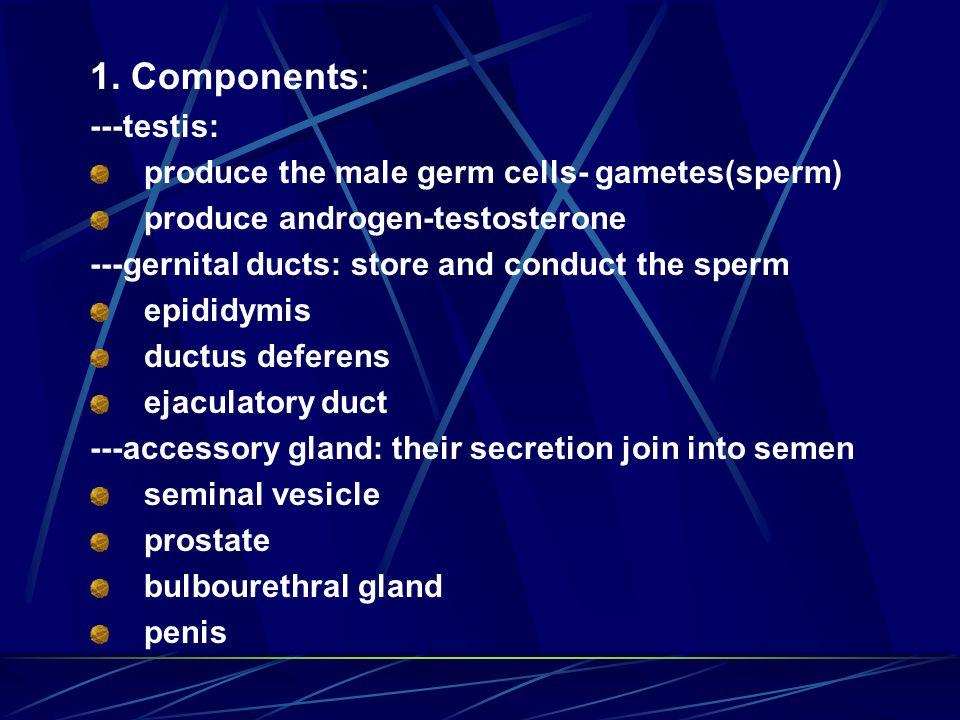 2.Testis 1) General structure: ① Capsule: a. tunica vaginalis: visceral layer-serosa b.