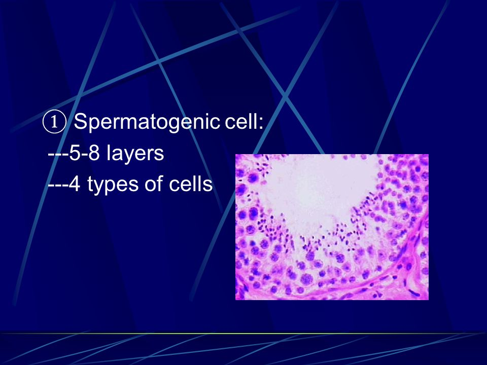 ① Spermatogenic cell: ---5-8 layers ---4 types of cells
