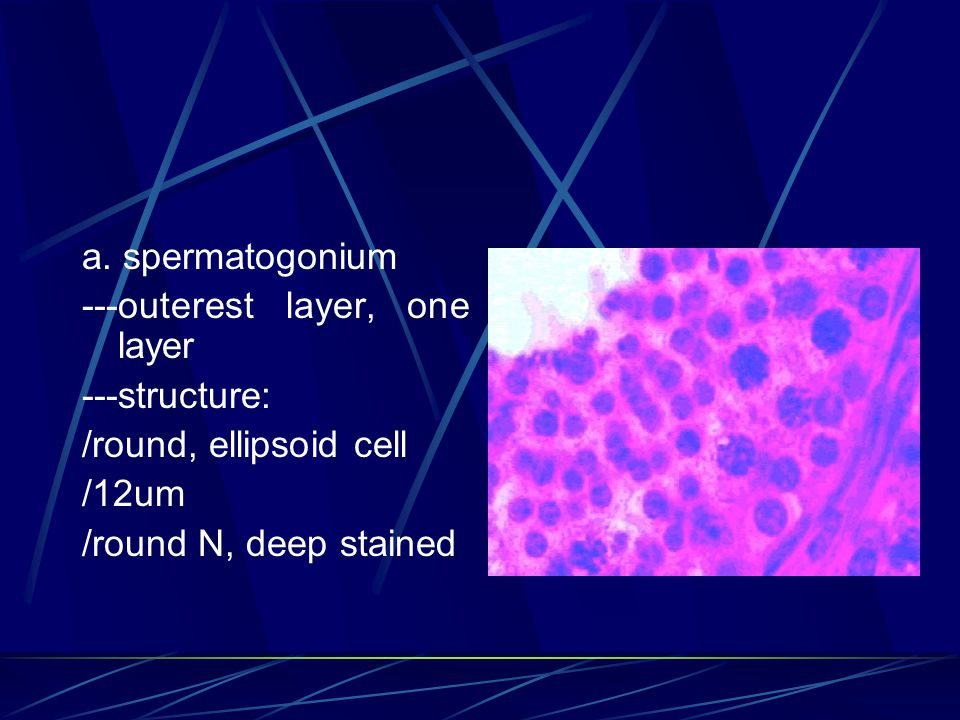 a. spermatogonium ---outerest layer, one layer ---structure: /round, ellipsoid cell /12um /round N, deep stained