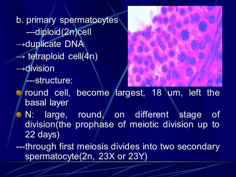 4) tubule rectus and rete testis ---tubule rectus: simple cuboidal or low columnar epi.