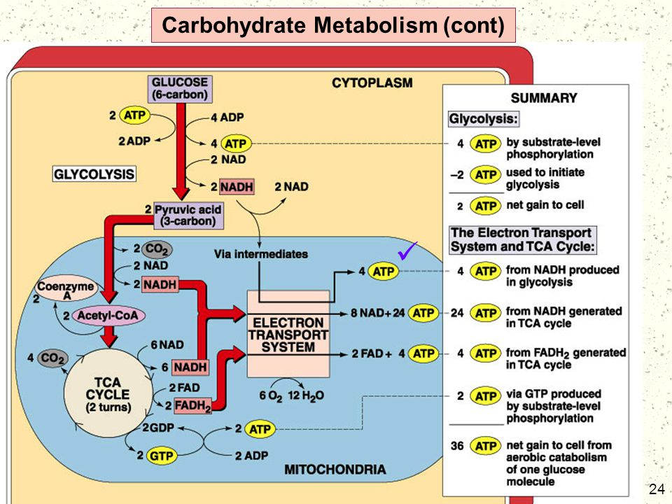 24 Carbohydrate Metabolism (cont)