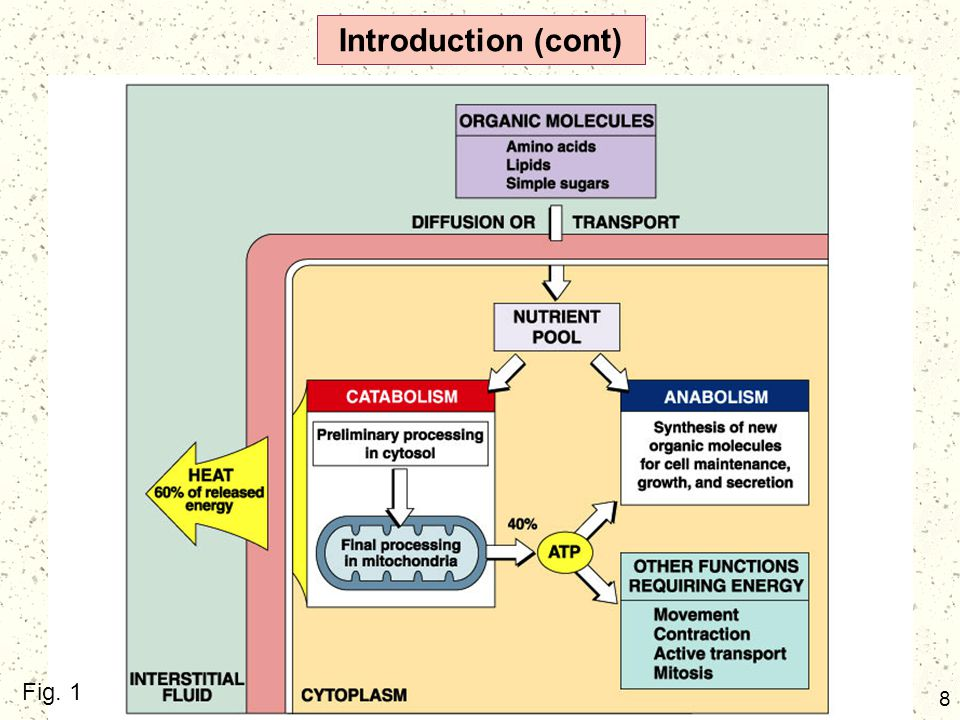 19 Carbohydrate Metabolism (cont) The mitochondrion is a double membrane organelle with an inner compartment containing a fluid called the matrix and an outer intermembrane space which also contains fluid.