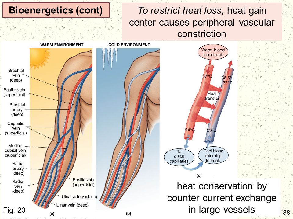 88 Bioenergetics (cont) To restrict heat loss, heat gain center causes peripheral vascular constriction heat conservation by counter current exchange