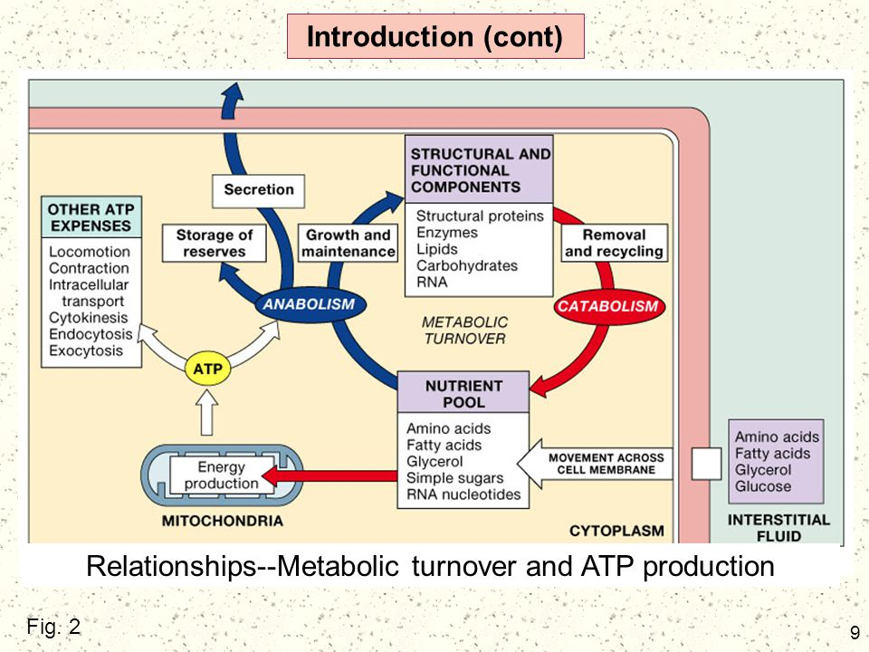 9 Introduction (cont) Fig. 2 Relationships--Metabolic turnover and ATP production