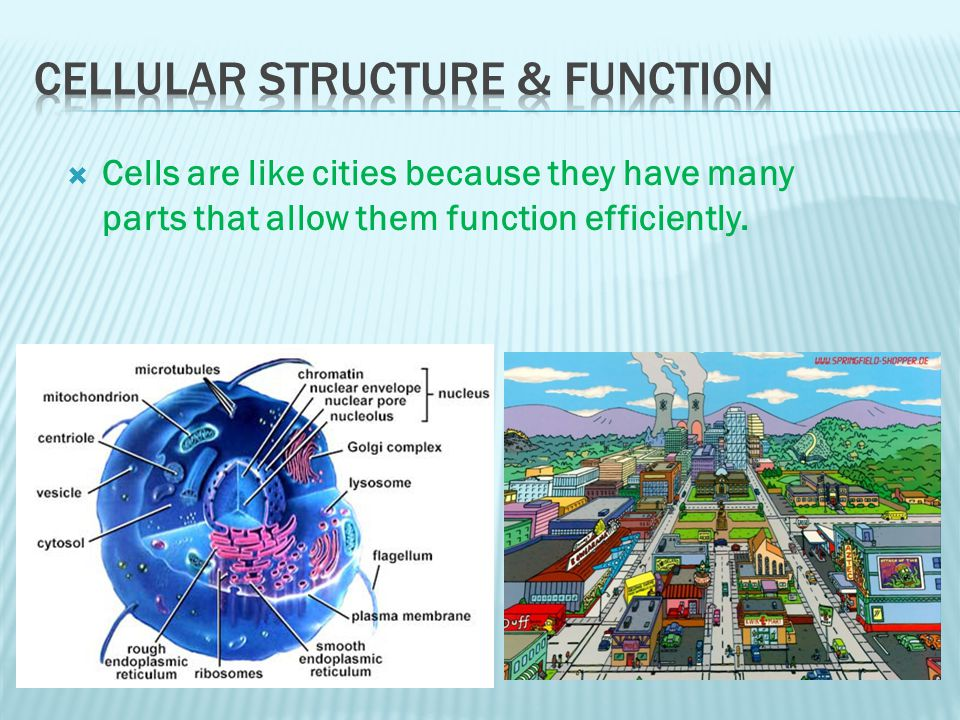  Cells are like cities because they have many parts that allow them function efficiently.