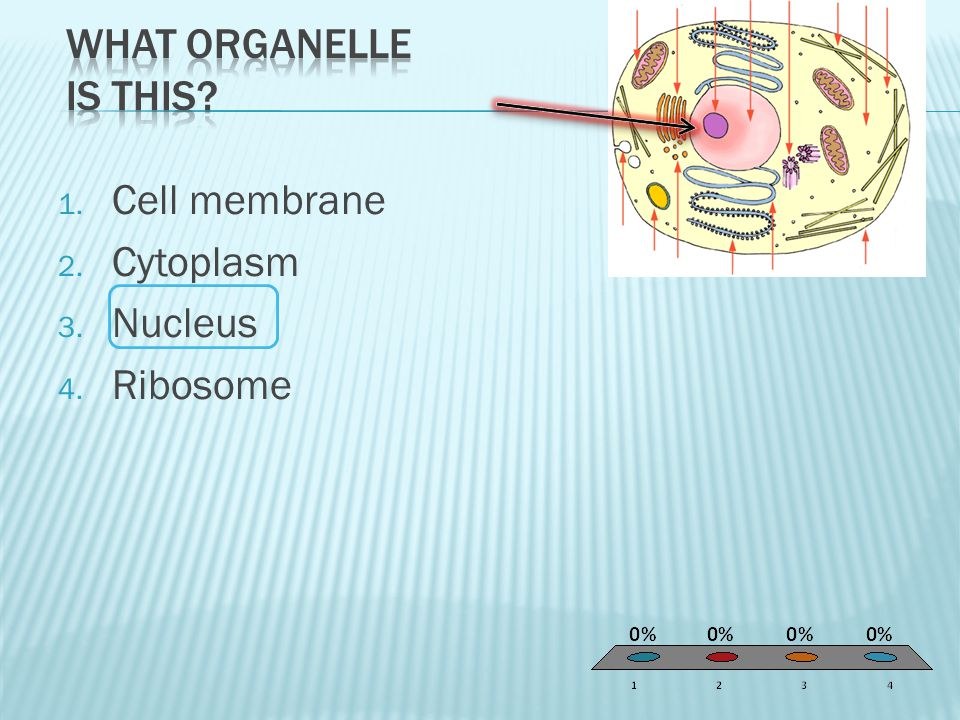 1. Cell membrane 2. Cytoplasm 3. Nucleus 4. Ribosome