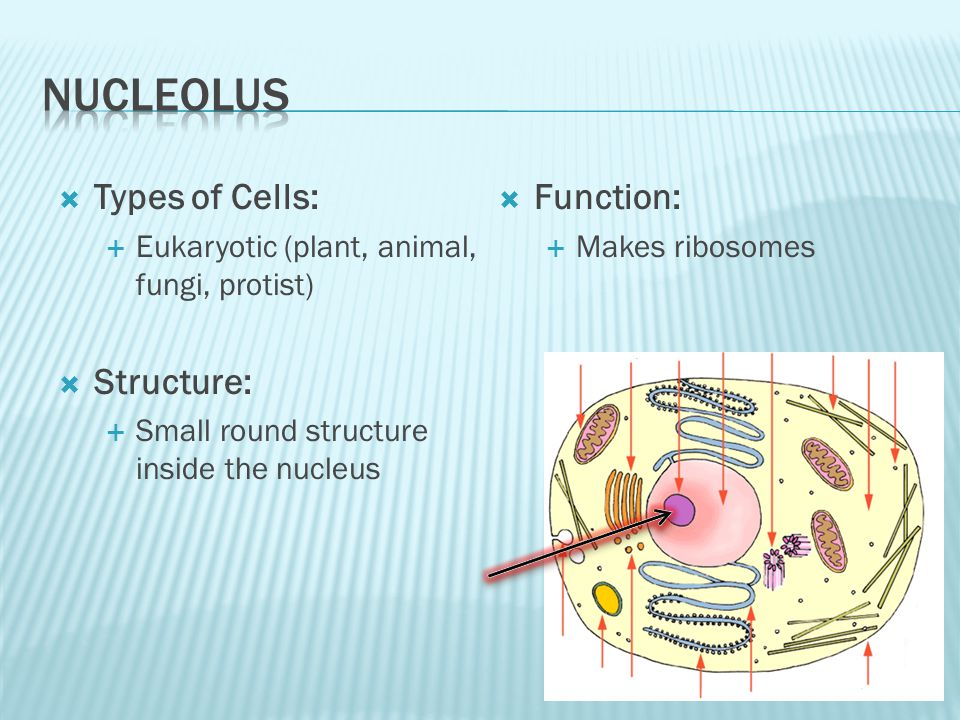  Types of Cells:  Eukaryotic (plant, animal, fungi, protist)  Structure:  Small round structure inside the nucleus  Function:  Makes ribosomes