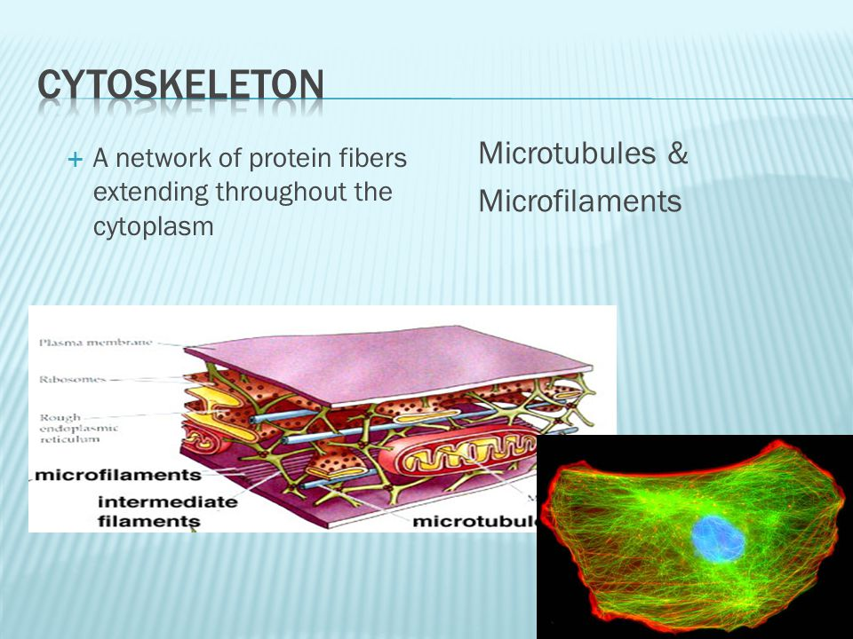 Microtubules & Microfilaments  A network of protein fibers extending throughout the cytoplasm