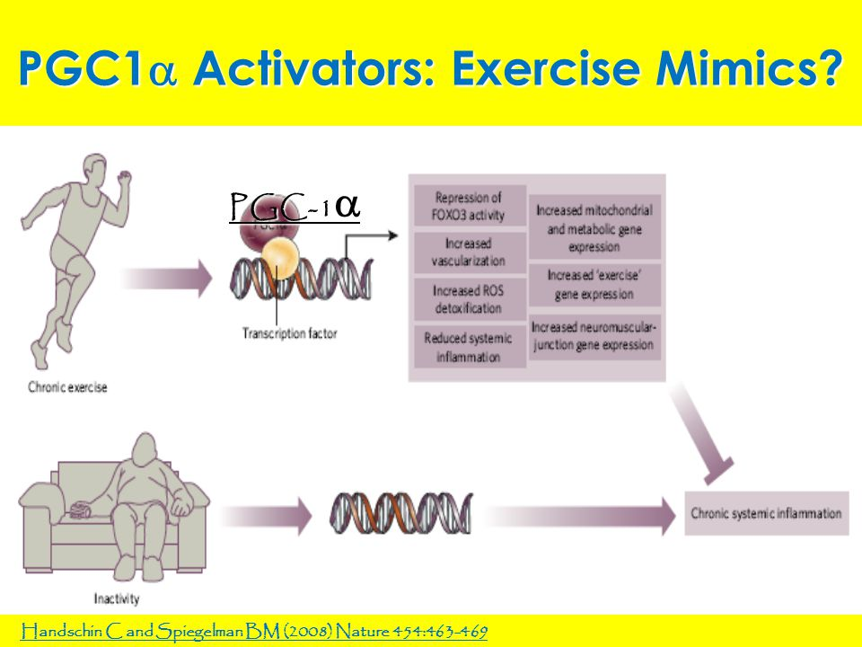 PGC1  Activators: Exercise Mimics? Handschin C and Spiegelman BM (2008) Nature 454:463-469 PGC-1 