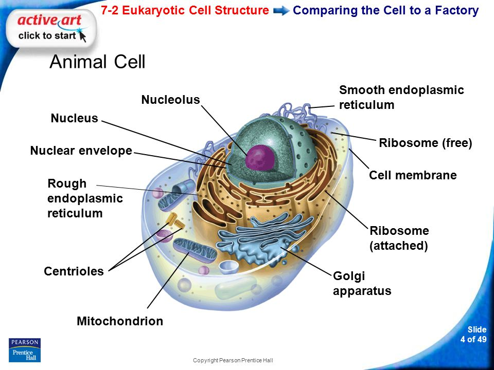 Slide 45 of 49 Copyright Pearson Prentice Hall 7-2 Two functions of vacuoles are storing materials and helping to a.break down organelles.