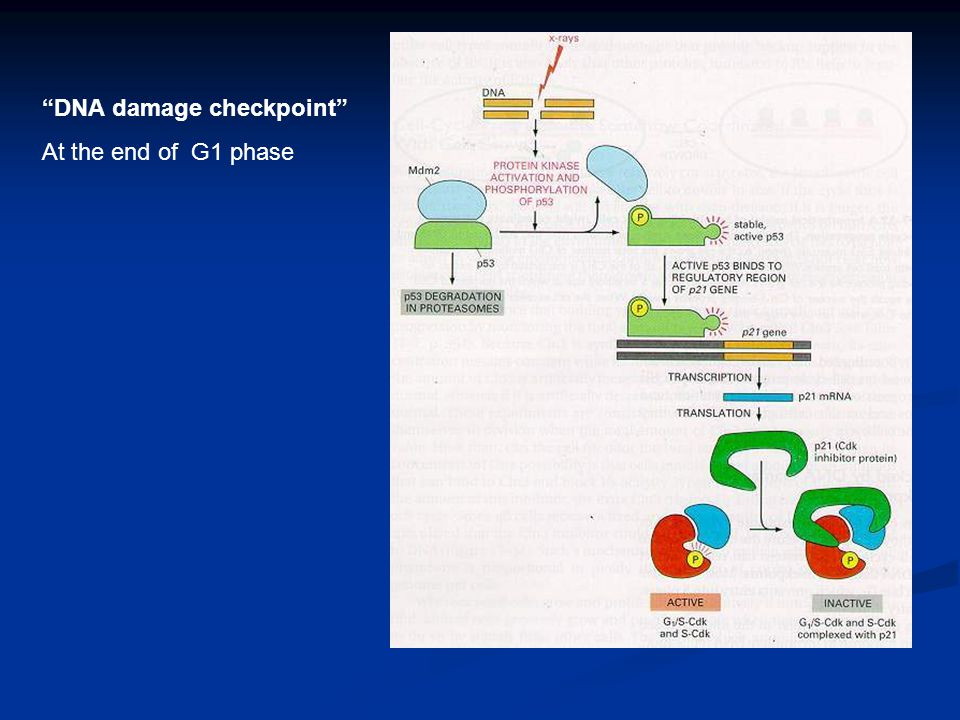 """DNA damage checkpoint"" At the end of G1 phase"