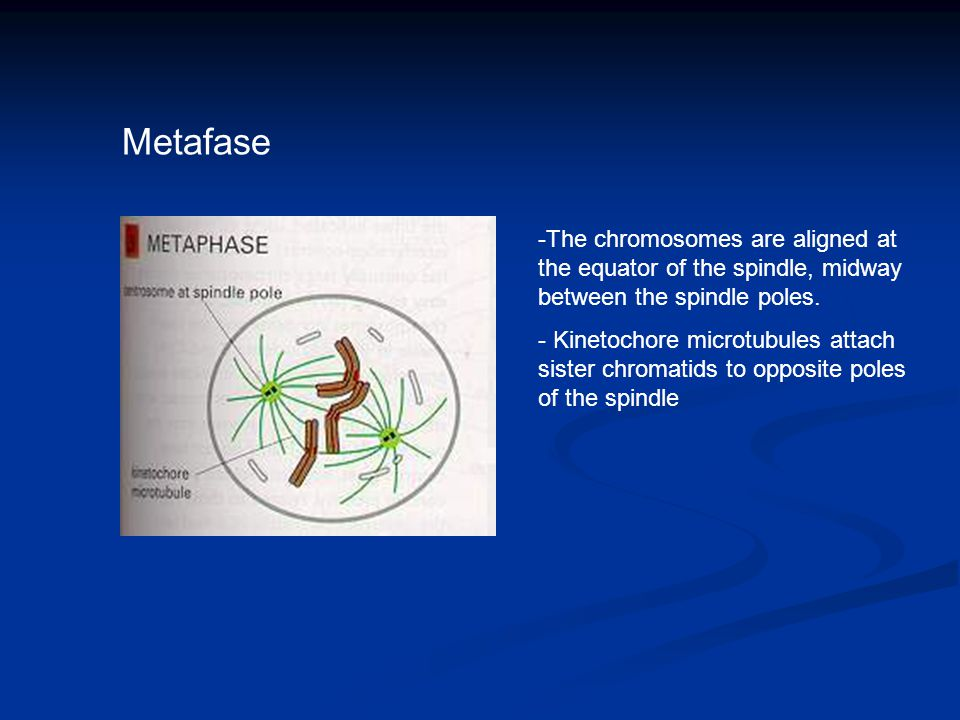 Metafase -The chromosomes are aligned at the equator of the spindle, midway between the spindle poles. - Kinetochore microtubules attach sister chroma
