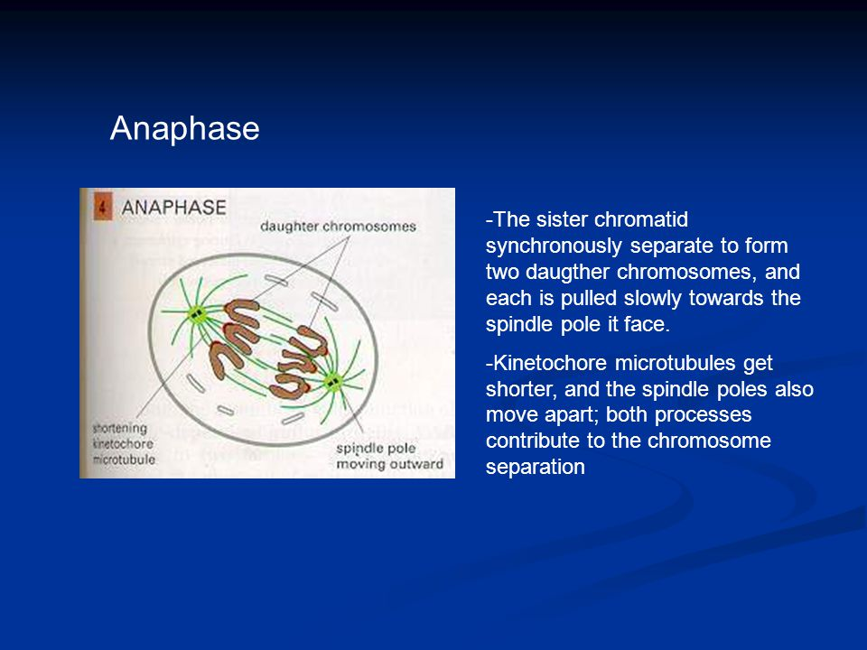 Anaphase -The sister chromatid synchronously separate to form two daugther chromosomes, and each is pulled slowly towards the spindle pole it face. -K