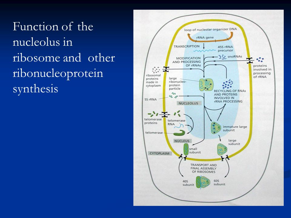 Function of the nucleolus in ribosome and other ribonucleoprotein synthesis