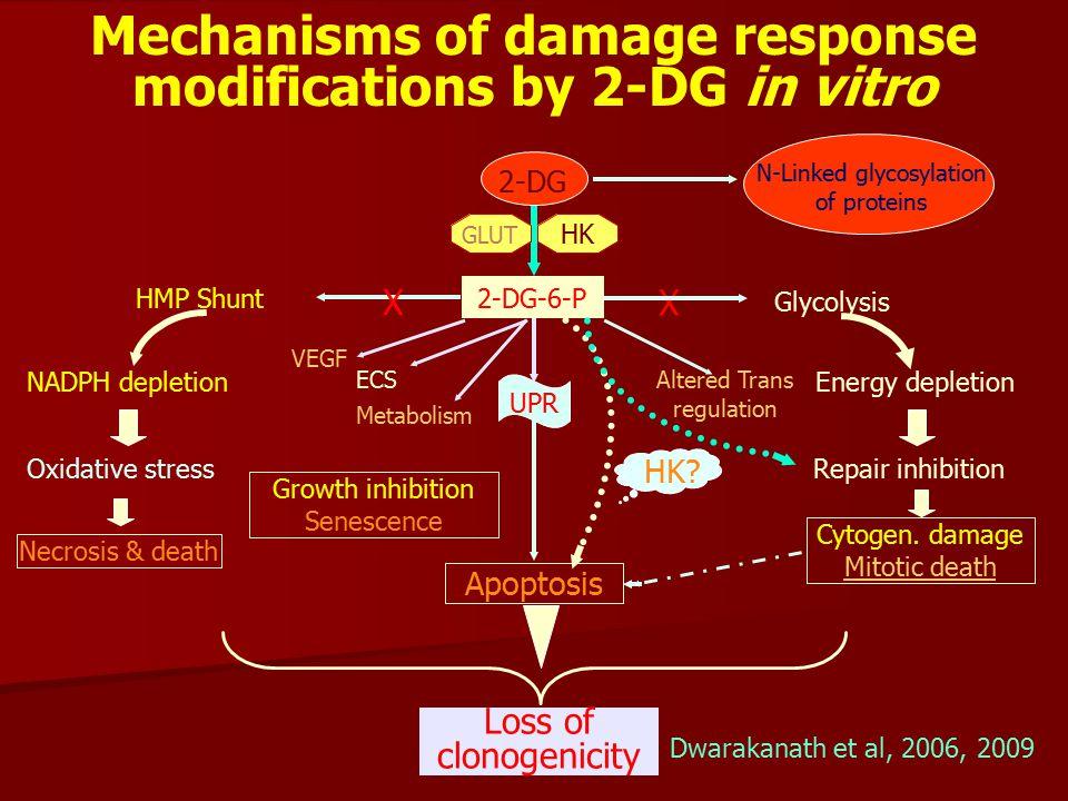Mechanisms of damage response modifications by 2-DG in vitro Loss of clonogenicity Glycolysis Oxidative stressRepair inhibition Energy depletion VEGF X 2-DG HMP Shunt Apoptosis Altered Trans regulation 2-DG-6-P GLUT X NADPH depletion UPR Cytogen.
