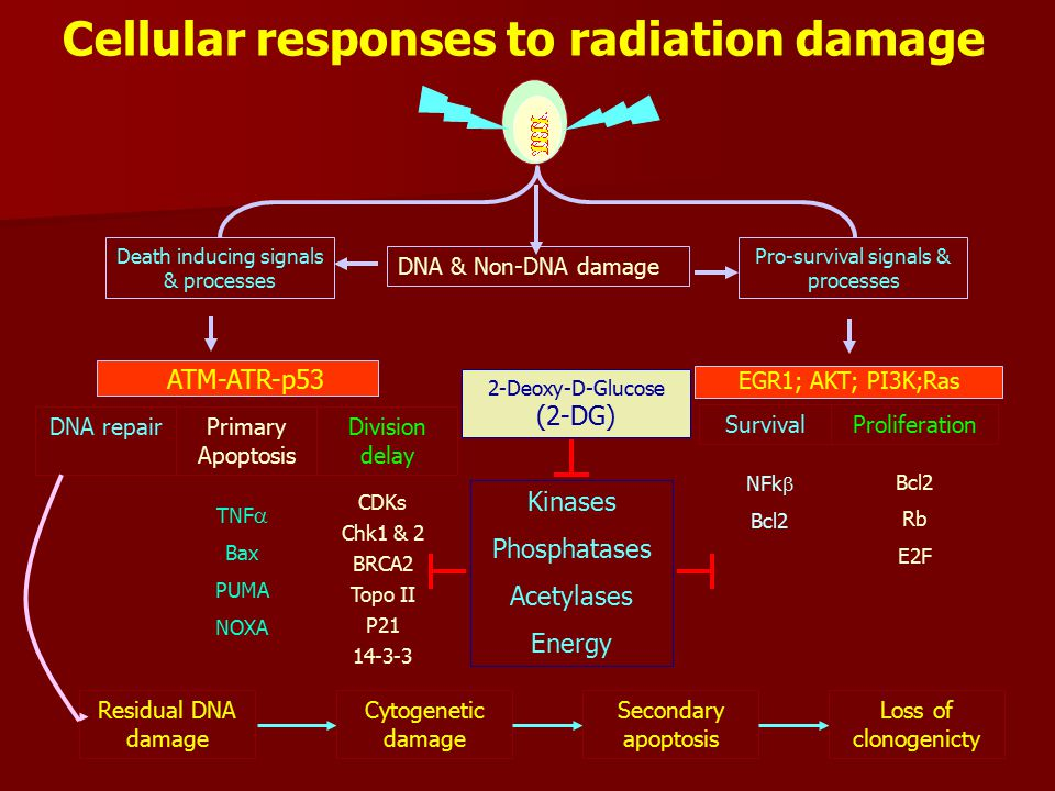 Cellular responses to radiation damage DNA & Non-DNA damage Death inducing signals & processes Pro-survival signals & processes DNA repairDivision delay Primary Apoptosis GADD45 BRCA1 Nbs1 DNA PK Ku70/80 RAD TNF  Bax PUMA NOXA CDKs Chk1 & 2 BRCA2 Topo II P21 14-3-3 ATM-ATR-p53 EGR1; AKT; PI3K;Ras ProliferationSurvival NFk  Bcl2 Rb E2F Residual DNA damage Cytogenetic damage Secondary apoptosis Loss of clonogenicty Kinases Phosphatases Acetylases Energy 2-Deoxy-D-Glucose (2-DG)