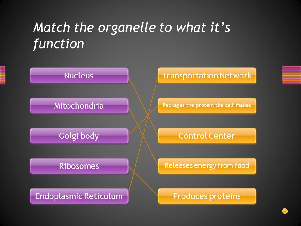 Match the organelle to what it's function Nucleus Mitochondria Golgi body Ribosomes Endoplasmic Reticulum Transportation Network Packages the protein