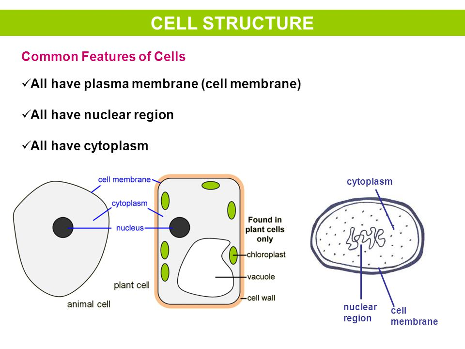 Made of cell membrane Found in all cells except red blood cells and bacterial cells Two types: –Smooth ER (no ribosomes on it) –Rough ER (ribosomes on the outer surface) ENDOPLASMIC RETICULUM