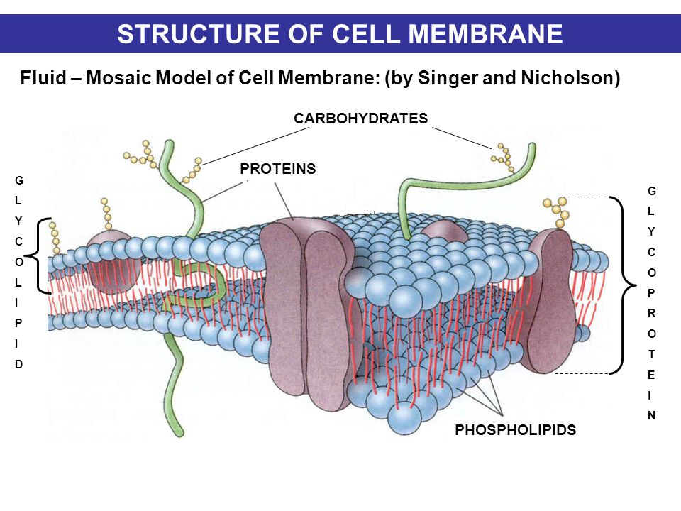 Centrosome  made up of two perpendicular cylinders called centrioles  contains microtubules  located near the nucleus  function in cell division  they produce spindle fibers which moves the chromosomes during cell division  plant cells don't have centrosomes