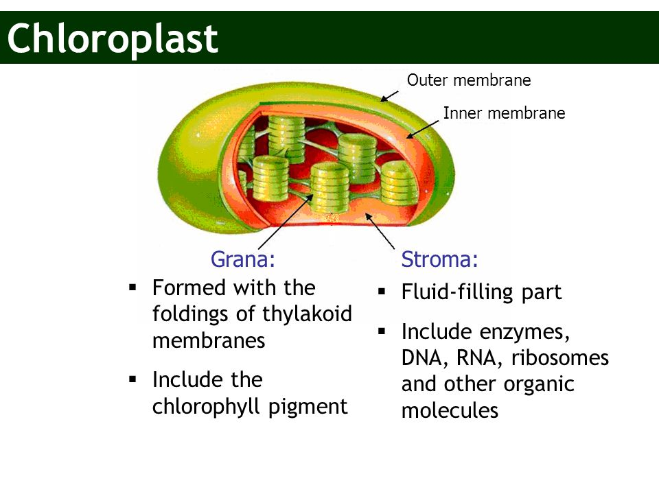 Grana:Stroma: Outer membrane Inner membrane  Formed with the foldings of thylakoid membranes  Include the chlorophyll pigment  Fluid-filling part 