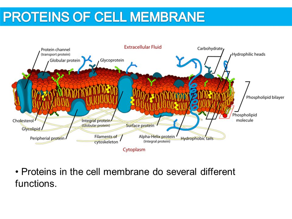 Cell Wall  plants, fungi, algae and bacteria have cell wall  is not alive  main function: protects the cell, gives its shape, gives mechanical support